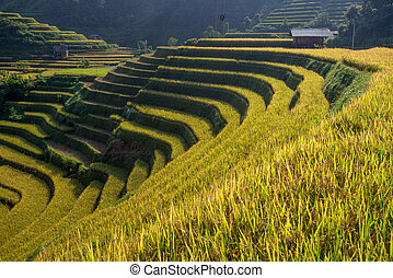 Rice fields on terrace Vietnam