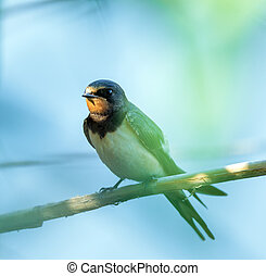 Swallow bird perched - Closeup of a barn swallow perched on...