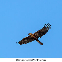 Common buzzard gliding against clear blue sky