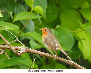 RobinErithacus rubecula