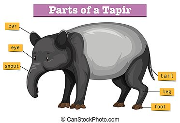 Diagram showing parts of tapir illustration
