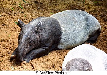 Malayan tapir or Asian tapir (Tapirus indicus)