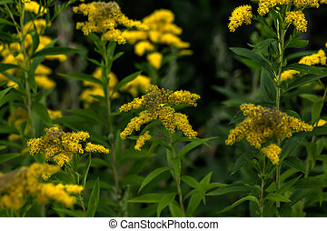 The blossoming golden rod. - The golden rod flower growing...