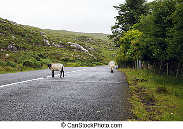 sheep grazing on road at connemara in ireland - travel and...