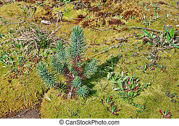 young stone pine on a carpet of moss - young plant of...