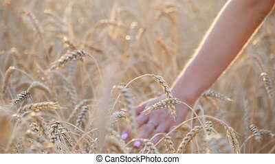 Woman's hand touch wheat ears at sunset at field