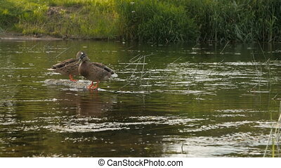 duck sits on a stone, flowing river