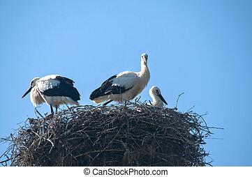 Family of storks in nest on blue sky background