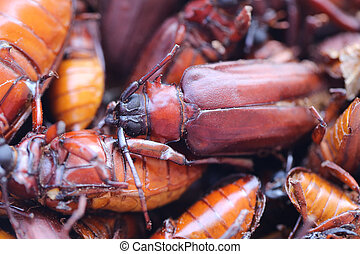 The scarab or Beetle and the name in scientifically to...