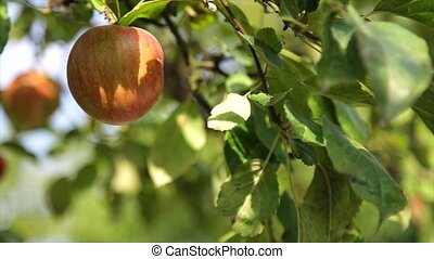 Organic red apple on branch, fruit on orchard ready for...