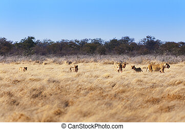 Pride of lions in Namibia