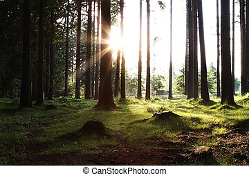 sun rising in the woods with sunray and green meadow