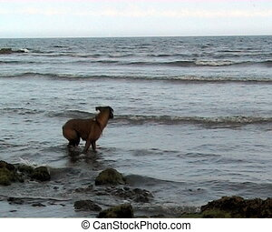 Video of dog in the sea - video of dog fetching object from...