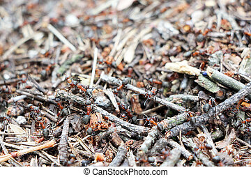 anthill ants burrow - Red ants near the ant hill in the...