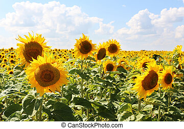 sunflowers sun sky - The growing sunflowers on tne sun sky...