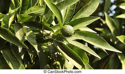 Green Mandarin In The Tree - Video clip of branch with young...