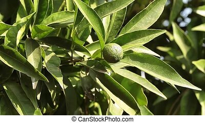 Young Mandarin Oranges - Video clip of branch with young...