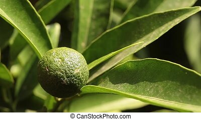 Green Mandarin Orange - Video clip of branch with young...
