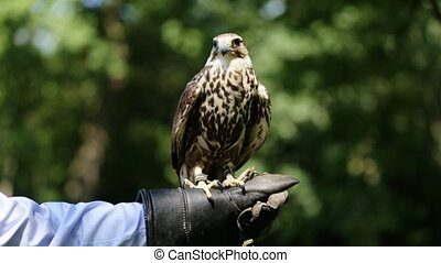Close-up of saker falcon Falco cherrug perched on the glove...