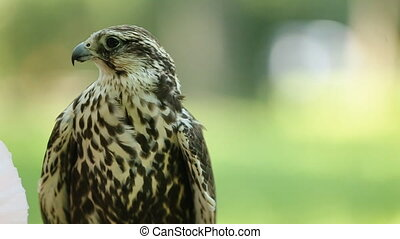 Saker falcon Falco cherrug Bird of prey close-up outdoors,...