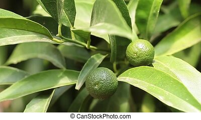 Tree With Young Mandarin Oranges - Video clip of branch with...