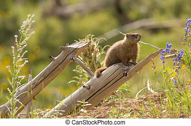 Wild Animal Marmot Marmota Yellowstone National Park -...