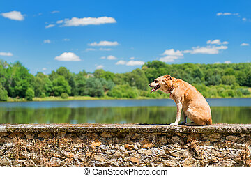 Old dog in nature - old brown dog on wall in nature...