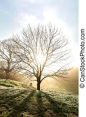 Bare Branched Spring Oak Tree Glowing in Morning Fog - A...