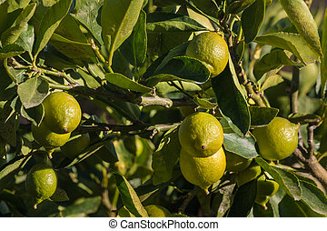 limes ripening on lime tree - closeup of limes ripening on...