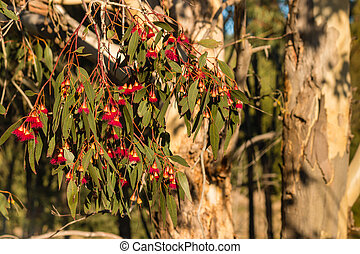 red eucalyptus tree flowers - closeup of red eucalyptus tree...