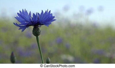 Wild cornflower grow in field scene with shallow depth of field. 4K