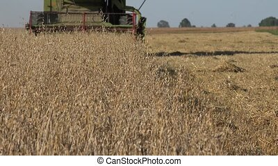 farm harvester combine work in oat field at summertime. 4K -...