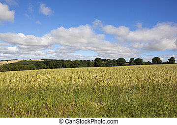 yorkshire wolds oat field - oat fields in the yorkshire...