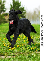 Black dog flat-coated Retriever running around and playing...
