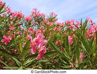 beautiful oleander flower in the garden - oleander flower in...