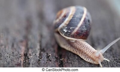 Snail crawling on wood. - Time lapse of beautiful snail...