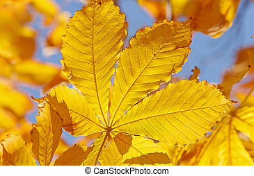 yellow leaf on maple tree at fall