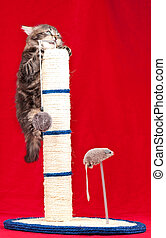 Cute siberian kitten on the scratching post over red...