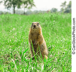 Gopher standing on meadow - Gopher standing and starring on...