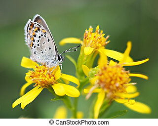 copper-butterfly on goldenrod