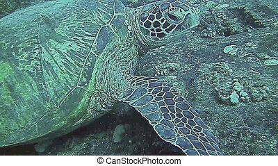 Green Sea Turtle resting on a ship wreck