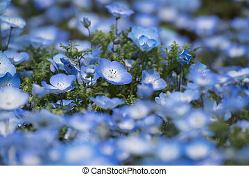 Carpet of Nemophila, or baby blue eyes flower