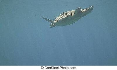 Green Sea Turtle swimming underwater in the blue