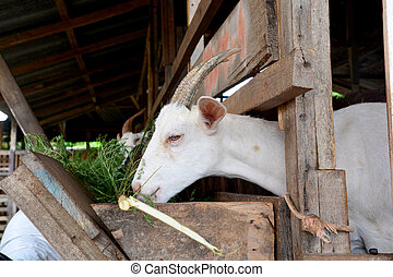 Goat in the paddock