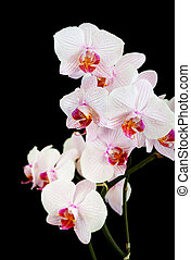 White orchid on black background - Branch of white orchids...