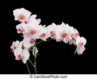 White orchid on black background - Long branch of white...