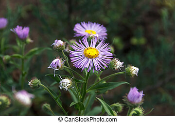 Arctotis flowers in the flowerbed, summer flowers in the...