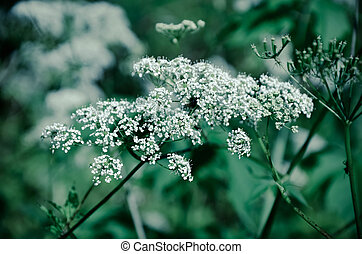 Cow Parsley Anthriscus sylvestris - white summer field...
