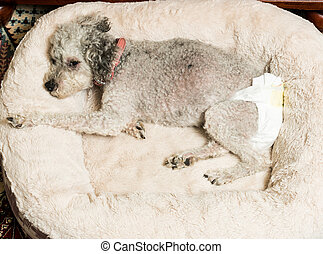 Old grey dog wearing a doggy diaper - Old yorkshire terrier...
