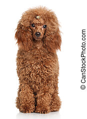 Red Miniature poodle Portrait on white background